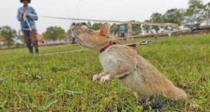 "A rat being trained by the Cambodian Mine Action Centre (CMAC) is pictured on an inactive landmine field in Siem Reap province July 9, 2015. Gambian pouched rats were deployed to Cambodia from Tanzania in April by a Belgian non-profit organization, APOPO, to help clear mines. They've been trained since they were 4 weeks old. Cambodia is still littered with landmines after emerging from decades of civil war, including the 1970s Khmer Rough ""Killing Fields"" genocide, leaving it with one of the world's highest disability rates. APOPO has used the rodents for mine-clearing projects in several countries, including Angola, Mozambique, Thailand, Laos, and Vietnam. Picture taken July 9, 2015.  REUTERS/Samrang Pring      TPX IMAGES OF THE DAY"
